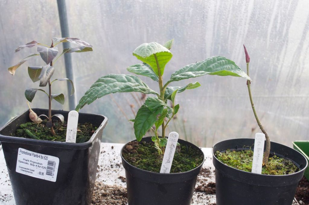 Trees From Seeds (L-R0: Pear tree, Loquat and Spindle